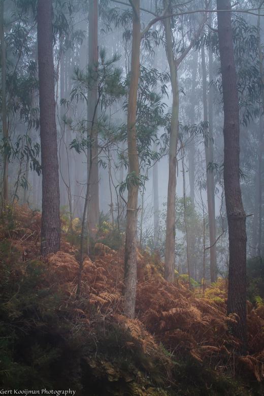 Eucalyptus bomen