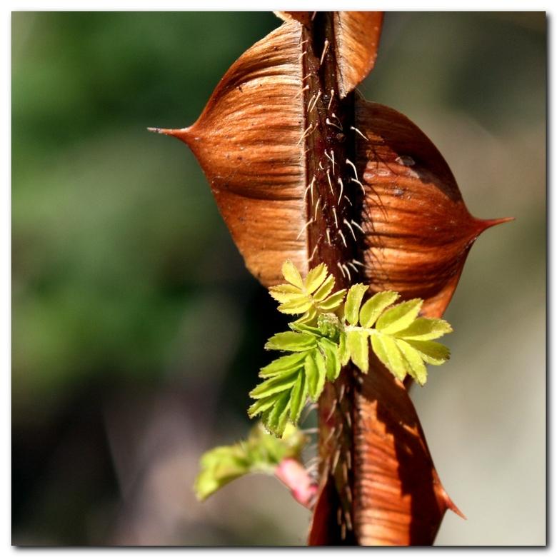 Bloei hout - Roos 'Hidcote Gold' die op het oude hout gaat bloeien. Dan zijn de imposante stekels al bruin verhout en zal deze gele voorjaar