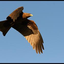 Ethiopische adelaar
