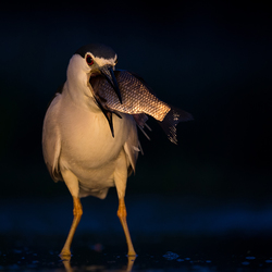 Night Heron is my name!