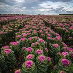 Sierkool in Nederland