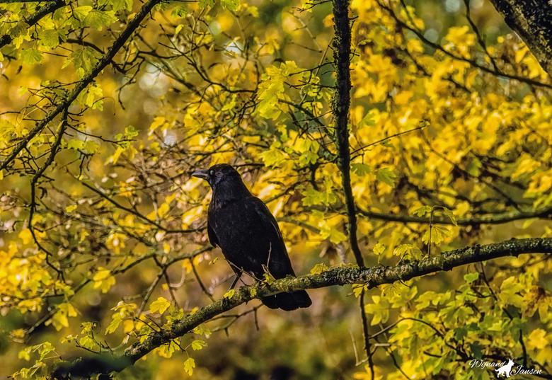 Corvus in the tree