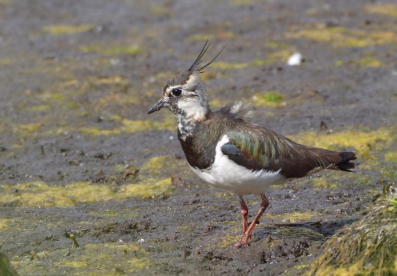 Kievit (Vanellus Vanellus) -