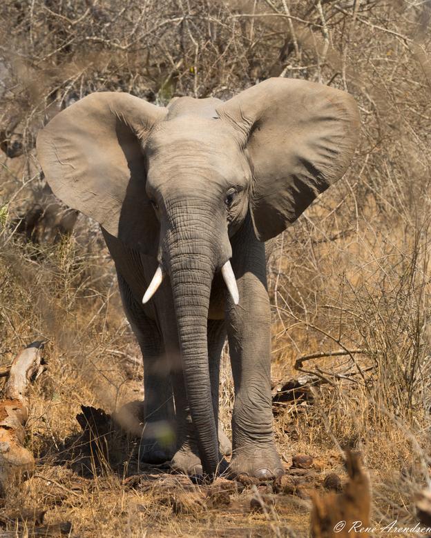 Krugerpark 2018 - Tijdens een gamedrive in het Krugerpark geschoten