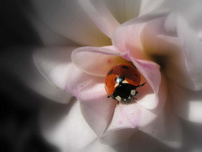 Lieveheersbeestje - Lhb in bloem