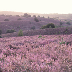 Hills of Heather