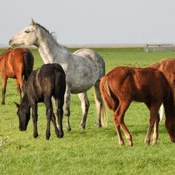 Paarden op de kwelder