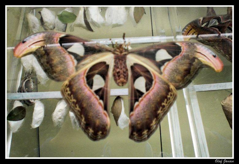 Atlas - In de dierentuin in Emmen worden ze niet vrij gelaten dus zitten ze achter glas<br /> <br /> Dank jullie voor de reacties op mijn foto&#039;
