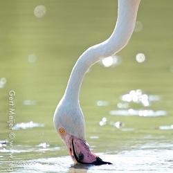 Wilde flamingo
