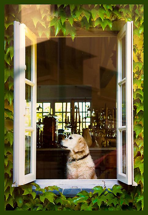 Hond - .