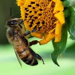 Bijen aan het werk