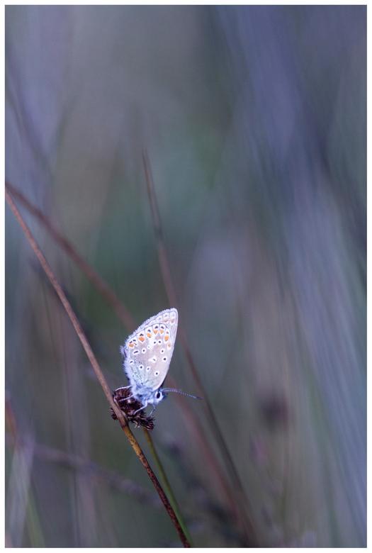 Icarusblauwtje  (Polyommatus icarus) - Texel