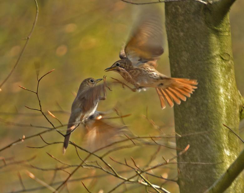 vechtende lijsters - twee lijsters die vechten om een mooi plekje in het bos.