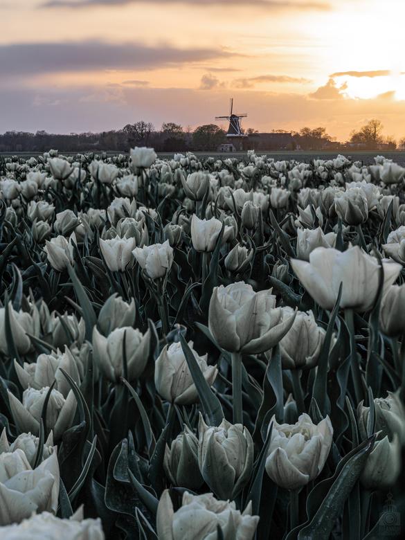 Tulpen uit Groningen  - Vorige week een kleine tour door het platteland van Groningen gereden om te eindigen bij een tulpenveld. Ondanks het sombere w