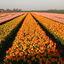 Tulpen -3-