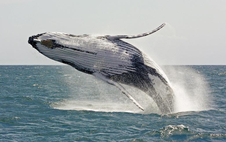 Springende bultrug walvis - Deze spingende en spelende buktrug walvis is gefotografeerd voor de kust van Australië