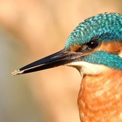 Close up ijsvogel