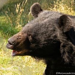Kraagbeer