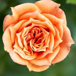 Close up van orange bloem