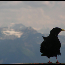 Vogel in de Alpen