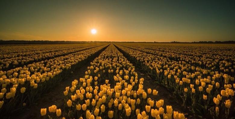 Zonsopkomst bij de bollenvelden  - Zonsopkomst boven de bollenvelden in de Noordoost polder.