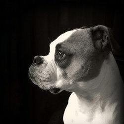 Portret van Mike, Amerikaanse bulldog