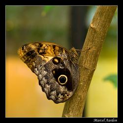 Uilvlinder
