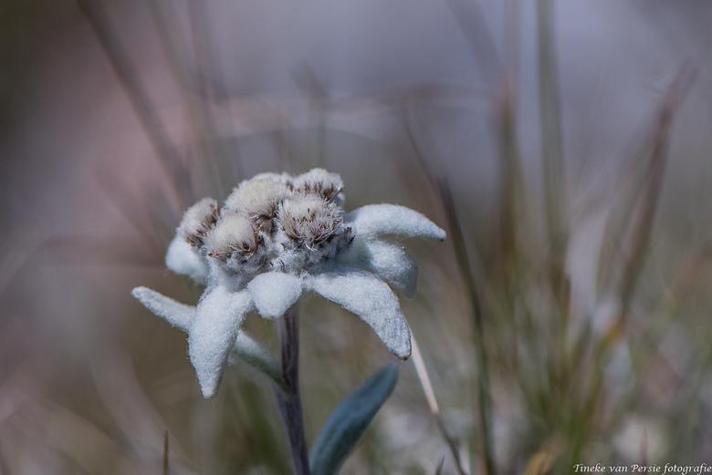 Edelweiss, Edelweiss..... - Edelweiss: de mooiste bloem van Oostenrijk. Je ziet ze in de bergen niet zo vaak meer. Ja in plantenbakken, gezaaid. <br /