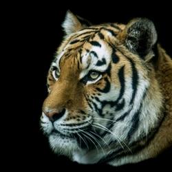 tijger in dierentuin amersfoort