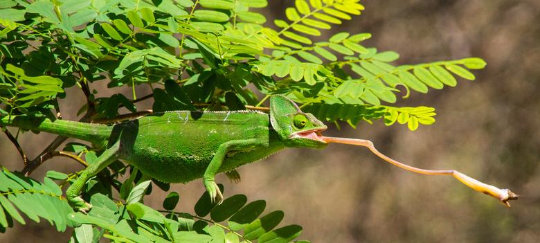Kameleon vangt sprinkhaan -