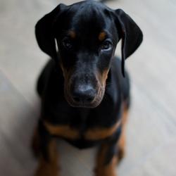 Dobermann pup