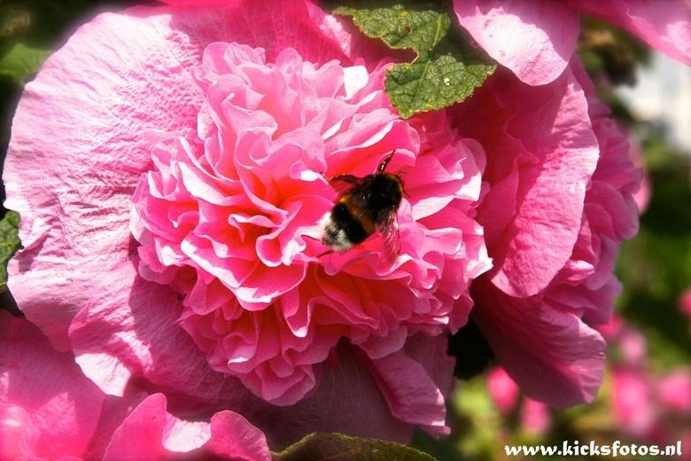 Bloemetjes en bijtjes  - Deze bij is hard aan het werk in de zon prachtig om hem dan op de foto te zeten