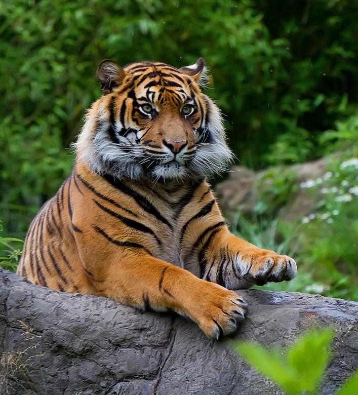 hallo ben ik weer  - tijger uit Blijdorp