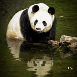 Panda in het water aan het spelen