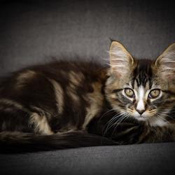 Maine coon kitten Kaplan
