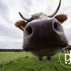 Koeienneus door groothoeklens
