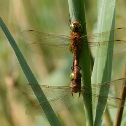 Parende libellen (vroege glazenwasser)
