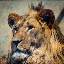 Baas van de leeuwinnen in Artis