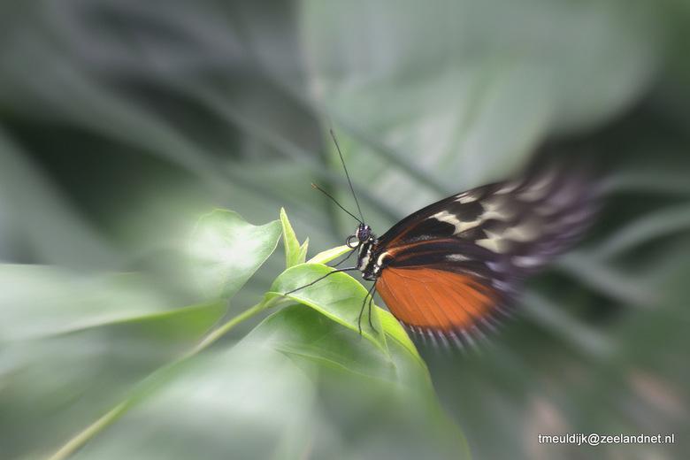 Vlinder - Een heel klein beetje gestoeid met lightroom