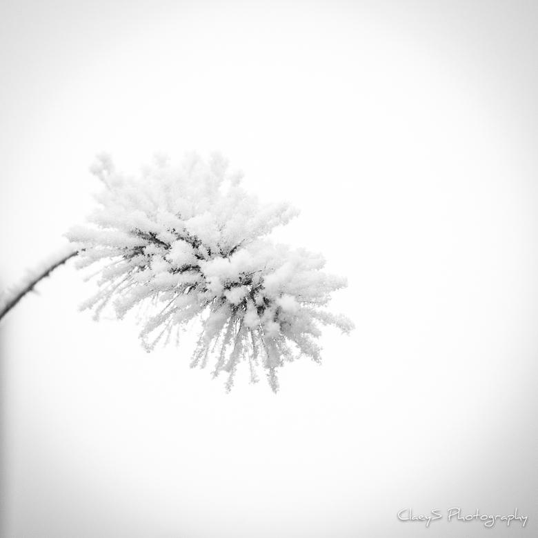 Snow Flower - Besneeuwd siergras in mijn eigen tuin.