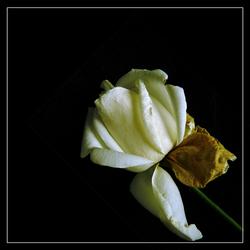Geel-Witte Roos