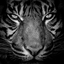 Portret van een tijger