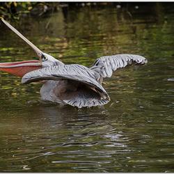 Boze pelikaan