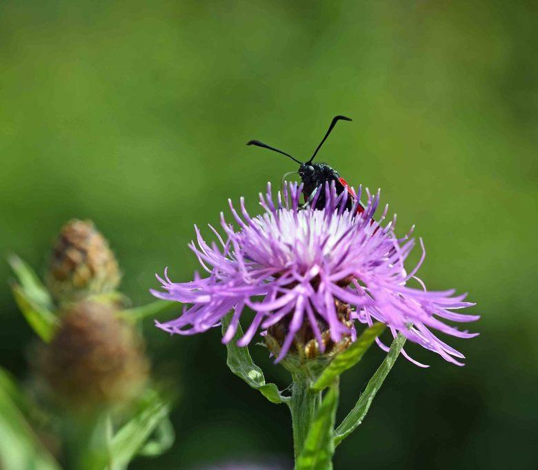 top-plant - Het knoopkruid is één van de zeer rijke nectarplanten. Het voordeel van een grote nectargift is dat insecten lang(er) op de bloem blijven