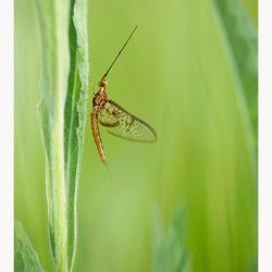 Eendagsvlieg