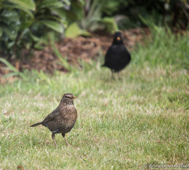 Vogels - Deze vogels waren van de zomer regelmatig te gast op mijn grasveld.