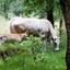 Koe met kalf op het Leersumse veld