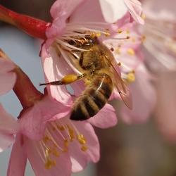 De honingbij aan het werk