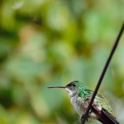 kolibrie aan het palden