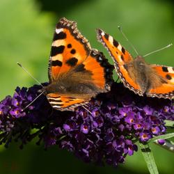gezelllig op de vlinderstruik
